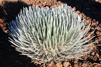 Photo: The ultra-rare silversword, that ONLY grows on the upper slopes of Haleakala.