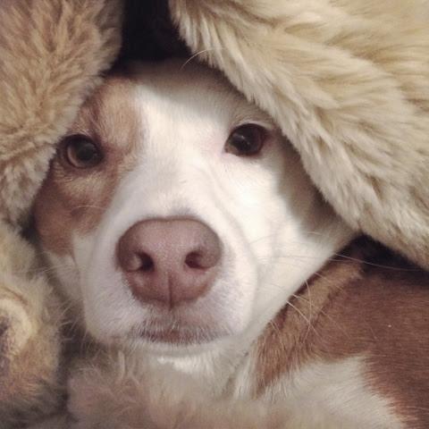 jrt cute jack russell terrier border jack