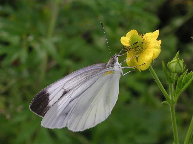 Pieris dulcinea dulcinea BUTLER, 1882 (ou P. napi dulcinea ?). 6 km au sud d'Anisimovka, 21 juillet 2010. Photo : J. Michel