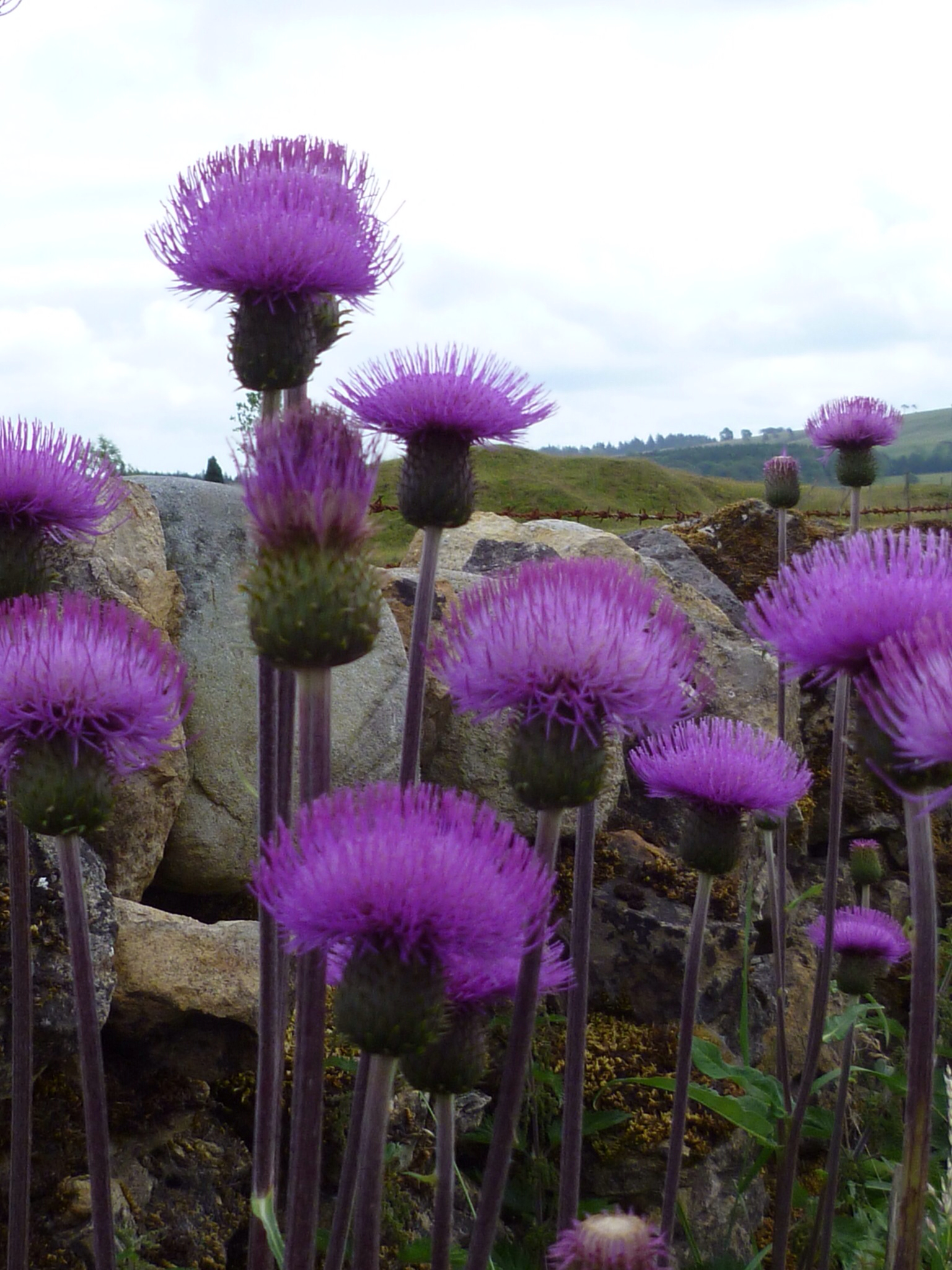 frieda oxenham scottish thistle
