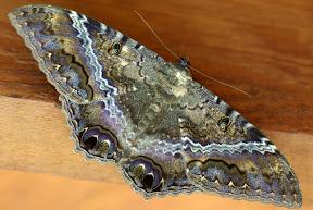 Erebid Moths