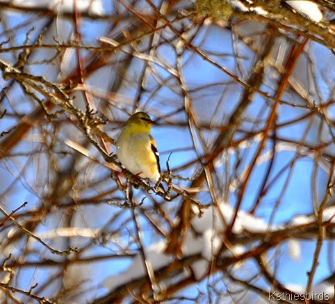2. goldfinch feb25-kab