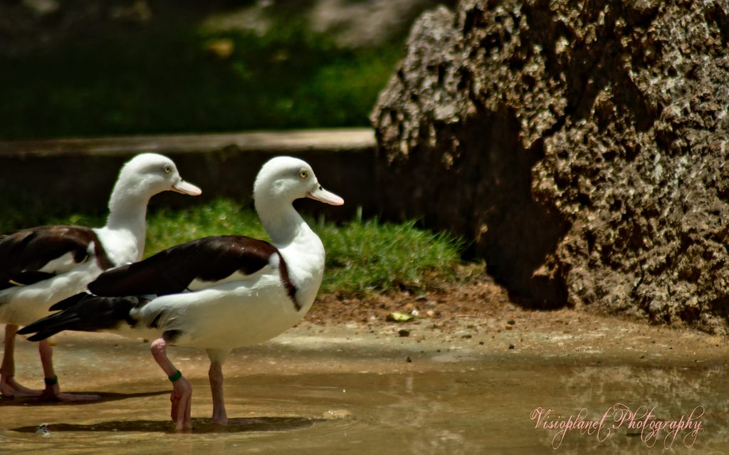 Duck Duck Go by Sudipto Sarkar on Visioplanet