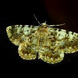 Geometridae : Ennominae : Boarmiini : Cleora perfumosa WARREN, 1896. Umina Beach (N. S. W.), 25 novembre 2011. Photo : Barbara Kedzierski