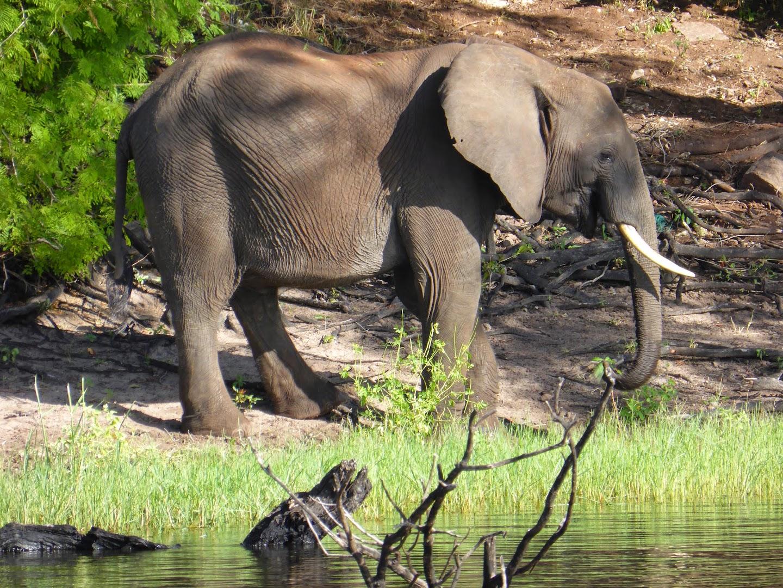 Olifant aan de oever van de Chobe rivier