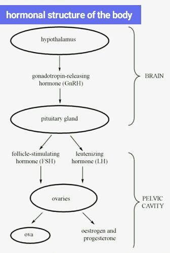 Oestrogen gland