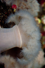 Photo: Sea anemones attached to the docks at Shearwater