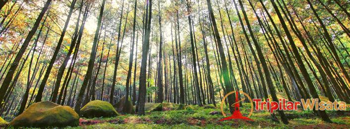 Tripilarwisata - Hutan Pinus Jogja - Hutan Pinus Mangunan Yogyakarta