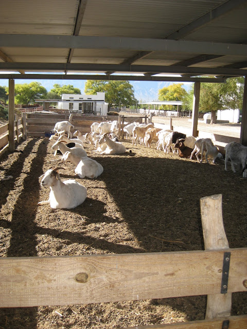 Lots of goats at the goat cheese farm