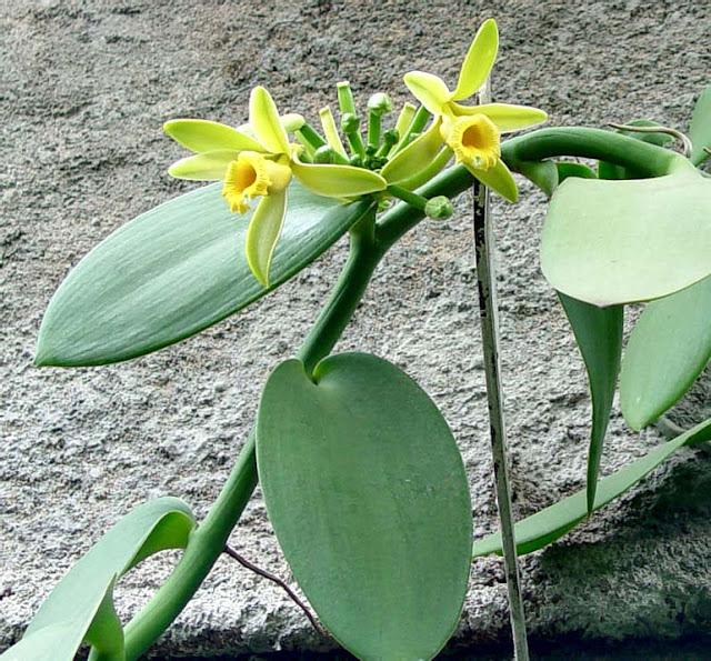 Растения из Тюмени. Краткий обзор - Страница 7 Vanilla-1