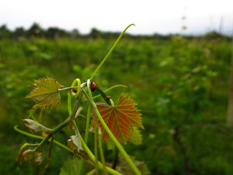 Ladybug on a grapevine