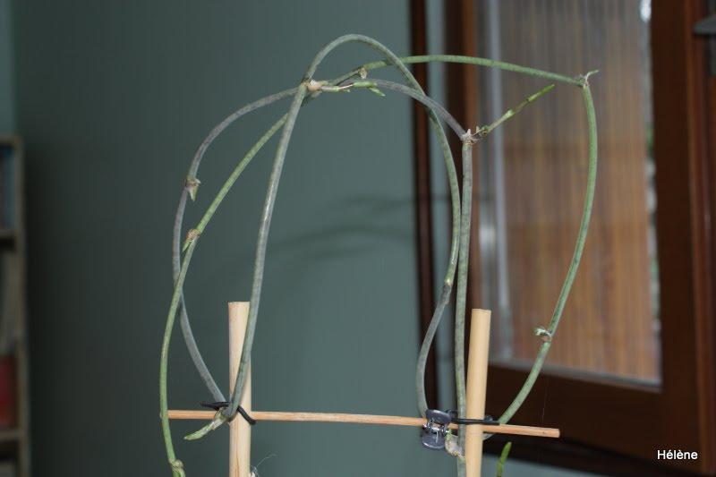 Floraison d'un Cyrtochilum (espèce à définir) Odonto+spe2