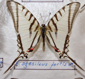 E. AGESILAUS FORTIS.JPG