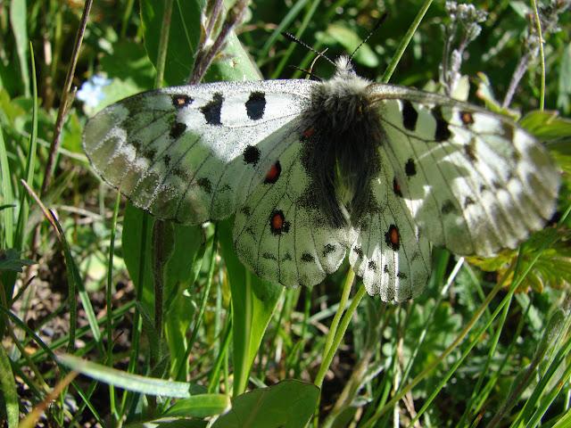 Parnassius (Parnassius) jacquemonti variabilis STICHEL, 1907. Muk, 3400 m, vallée de la Muksu (Monts Pierre-le-Grand), 10 juillet 2007. Photo : Emmanuel Zinszner