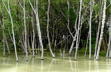 Mangroves in the wet season when the flood waters are high.