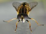 Ильница сходная (Heliophilus affinis)