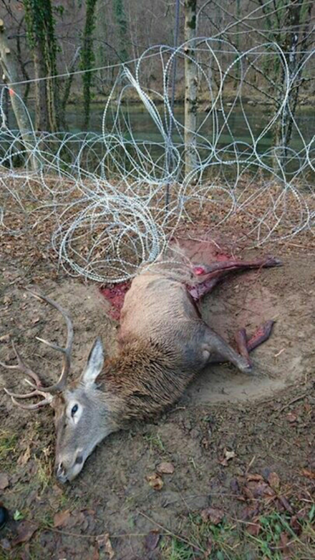 A red deer that got caught in barbed wire security fencing along the Slovenian-Croatian border. These animals frequently cross national borders in search of food and as they migrate with the seasons. Photo: Dejan Kaps