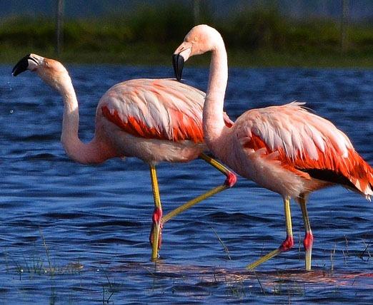 [Flamingo-Chileno5]