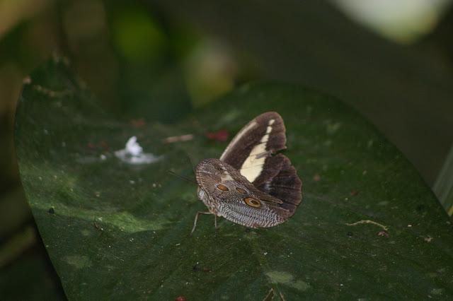 Dasyophthalma creusa HÜBNER, (1821), mâle. Fazenda d'Arariba (Ubatuba, SP), 22 février 2011. Photo : J.-M. Gayman