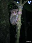 Spectral Tarsier, Tangkoko-Batuangas Dua Saudara Nature Reserve  [2013]