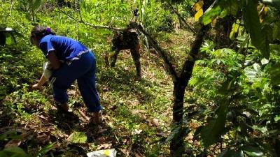 Kebun Coklat Dibersihkan, Rika Pangabean: Terima Kasih Satgas TMMD Kodim Tapsel