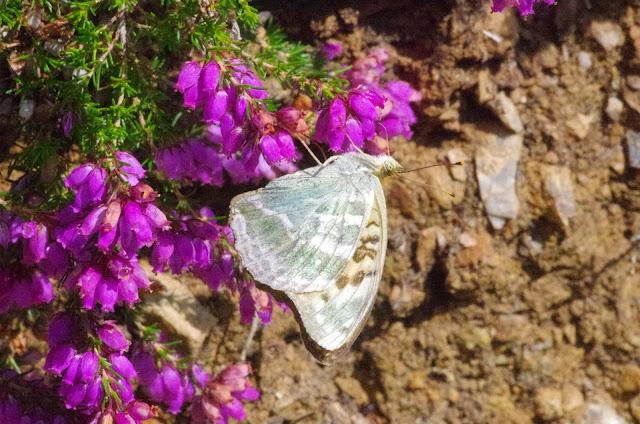 Argynnis paphia (L., 1758). Chemin de La Rodé (700 m), Cocurès (Lozère, France), 9 août 2014. Photo : J.-M. Gayman