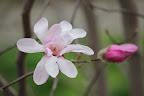 Fancy Magnolia