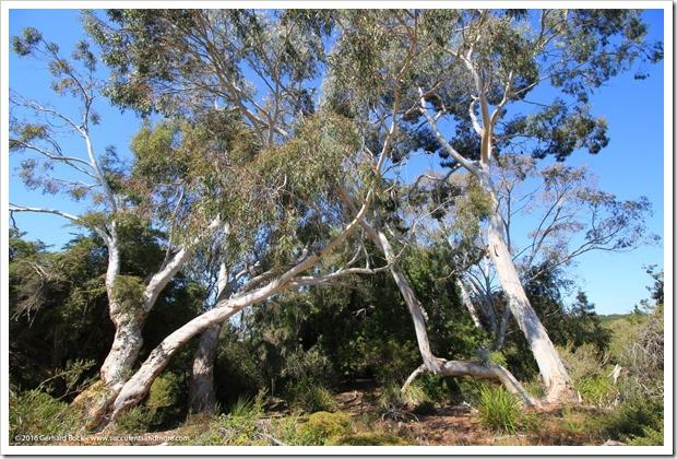160813_UCSC_Arboretum_Eucalyptus-laeliae_005