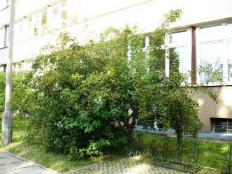 Krzew pęcherznicy kalinolistnej Physocarpus opulifolius