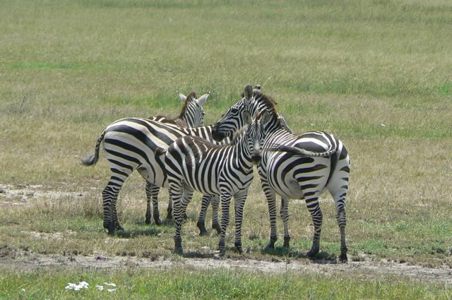 Serengeti National Park - zebras