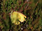 Mosehøsommerfugl, Palaeno, han.jpg