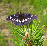 Limenitis reducta.jpg