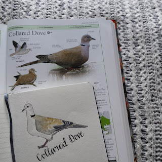 Collared Dove :: www.AliceDrawsTheLine.co.uk