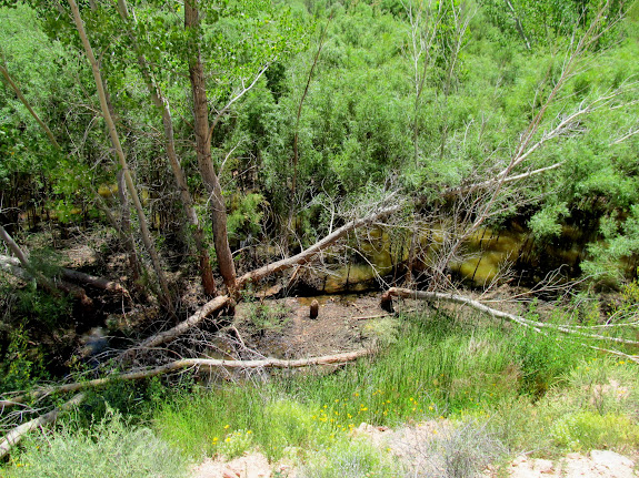 Beaver-felled trees and a beaver pond in the willows