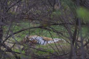 Tigre entre las ramas