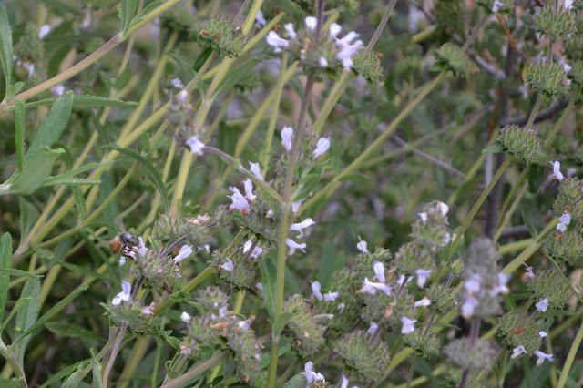 bee on black sage