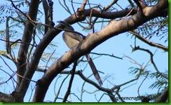 Grey Hornbill1