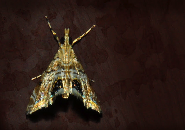 Crambidae : Nymphulinae : Hylebatis scintillifera TURNER, 1908. Umina Beach (N. S. W., Australie), 12 janvier 2012. Photo : Barbara Kedzierski