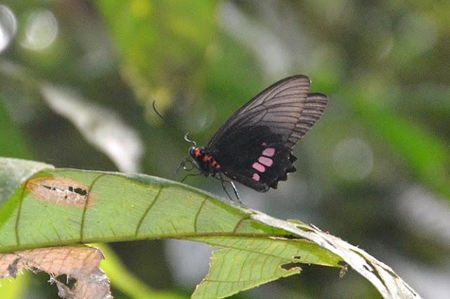 Parides aeneas lucasi Brown & Lamas, 1994, ♀. Crique Tortue, Saut Athanase sur l'Approuague (Guyane), 22 novembre 2011. Photo : Michel Belloin
