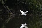 Great Egret in Reserve Zone (Manu National Park, Peru)