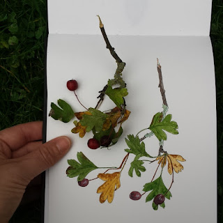 Hawthorn illustration by Alice Draws The Line