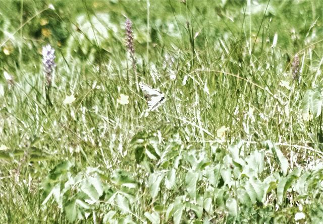 Papilio machaon (L., 1758) en vol. Sils Maria, 1850 m (Engadine, Grisons, CH), 12 juillet 2013. Photo : J.-M. Gayman