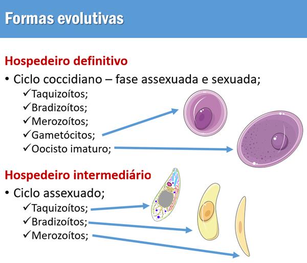 Formas evolutivas Toxoplasma gondii