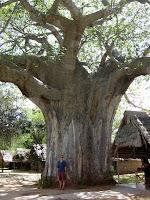 Baobab tree - Tarangire National Park