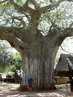 Baobab tree - Tarangire National Park