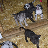Gretta & Cobalt Blues 3/24/12 litter - SAM_3447.JPG