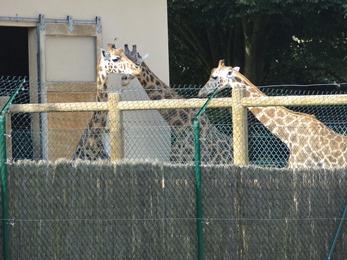 2018.06.30-068 girafes