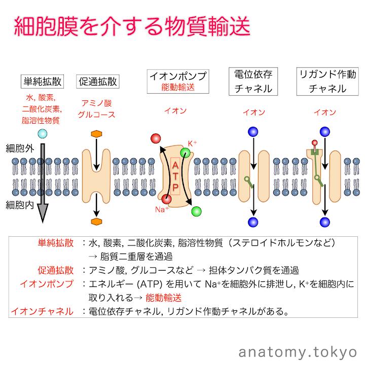 t111-08-細胞膜を介する物質輸送.png