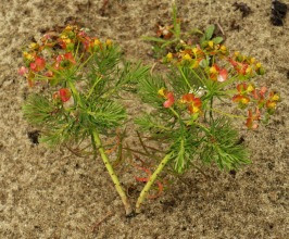 Wilczomlecz sosnka Euphorbia cyparissias