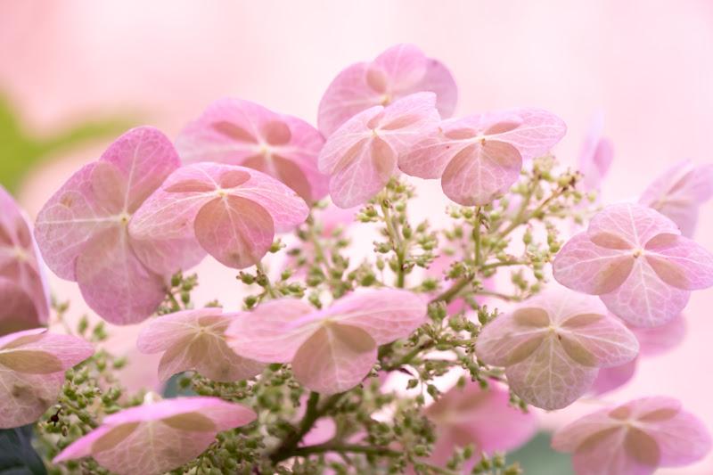 Hydrangea flowers at Hakusan Shrine